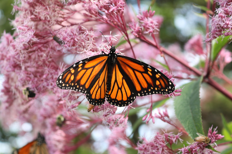 Designing a butterfly garden - Butterfly and hummingbird garden designs ...