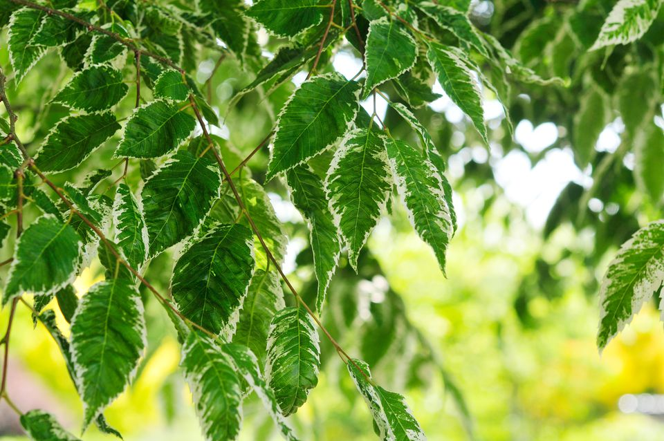 Japanese zelkova variegata tree branches with hanging green and white tipped leaves