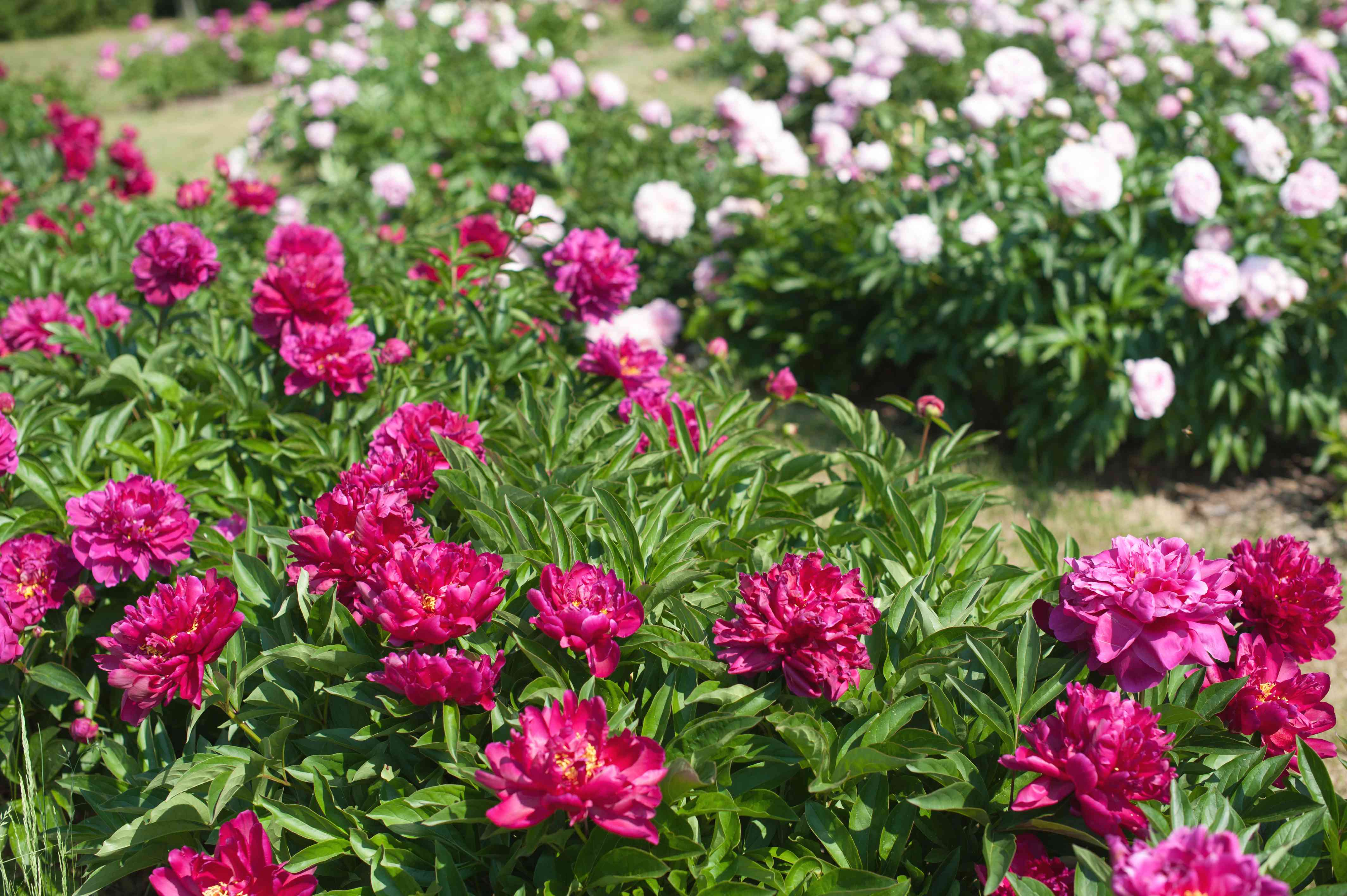 Peonies bushes with fuschia flowers and white flowers in the background