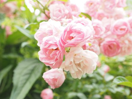 Types of roses by name and color light pink rose mightylinksfo