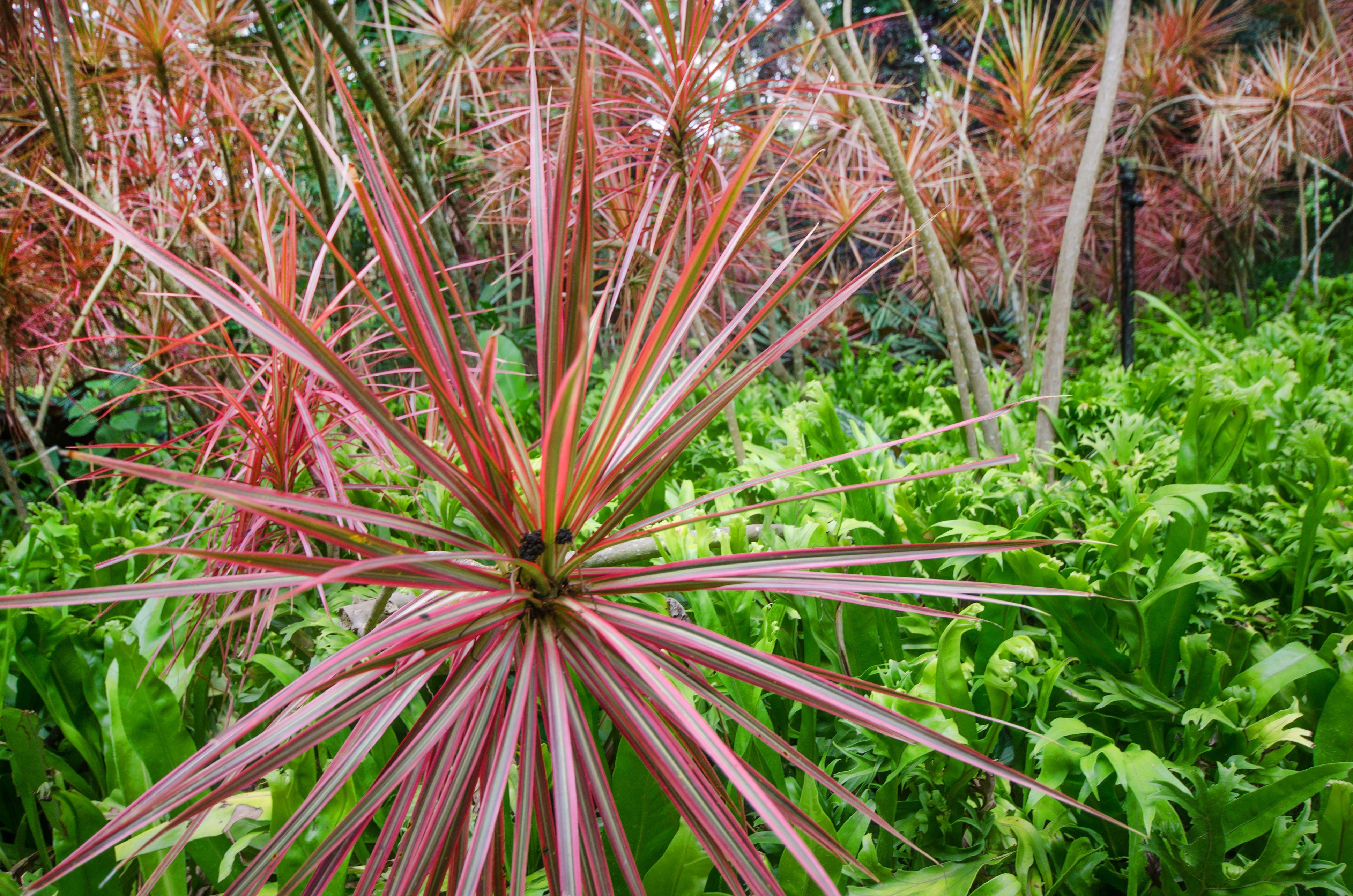 Dracaena Marginata Dragon Tree Care And Growing Guide