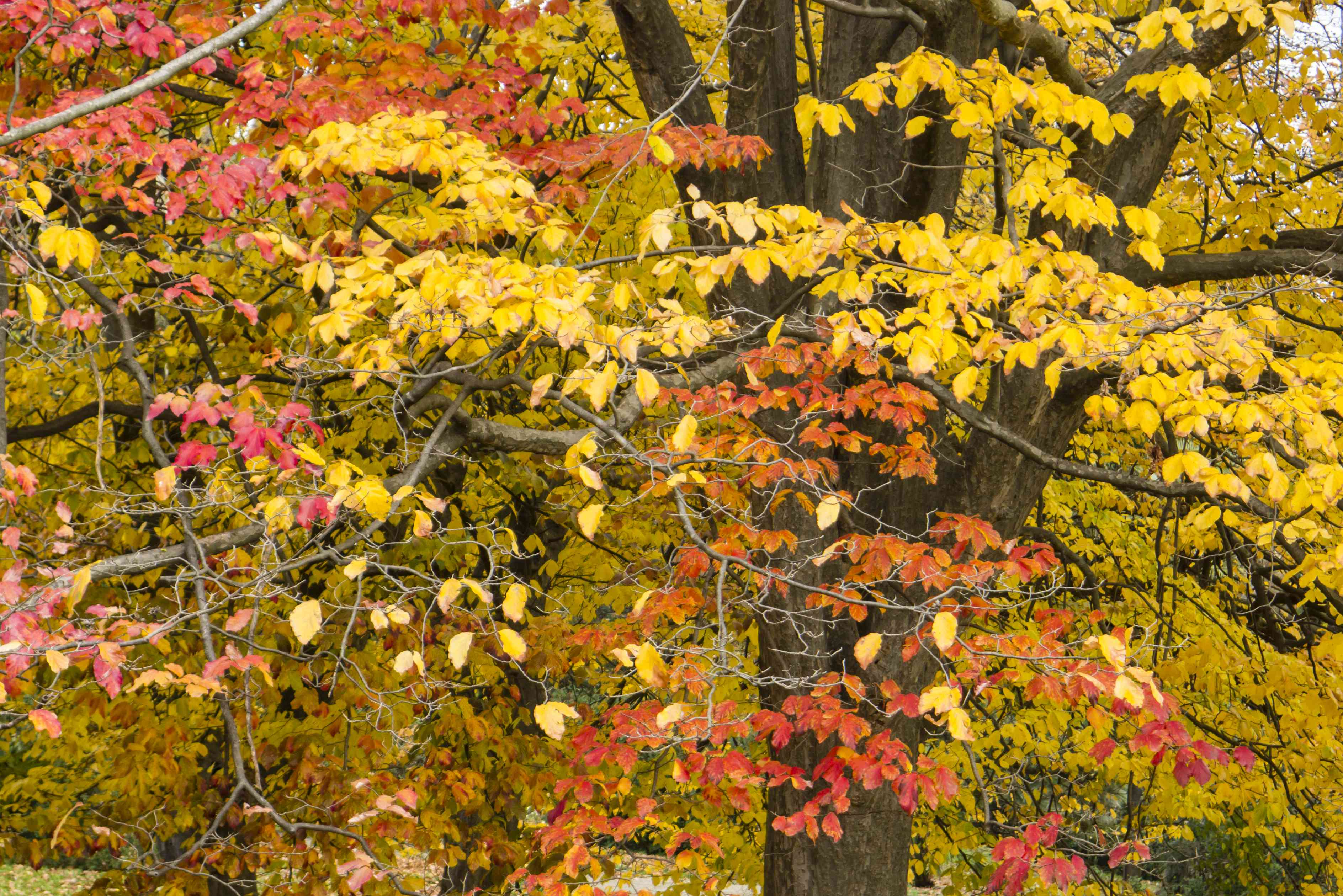 Persian ironwood tree with autumnal leaves