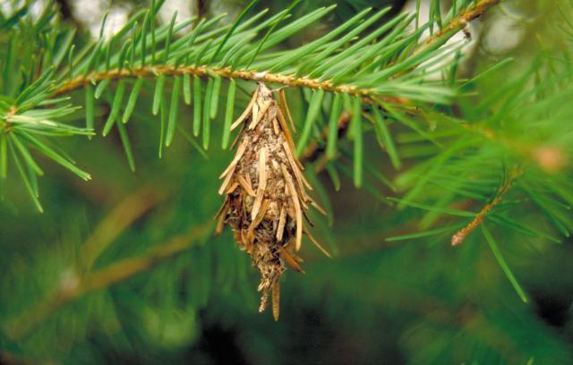 Evergreen bagworm moth.