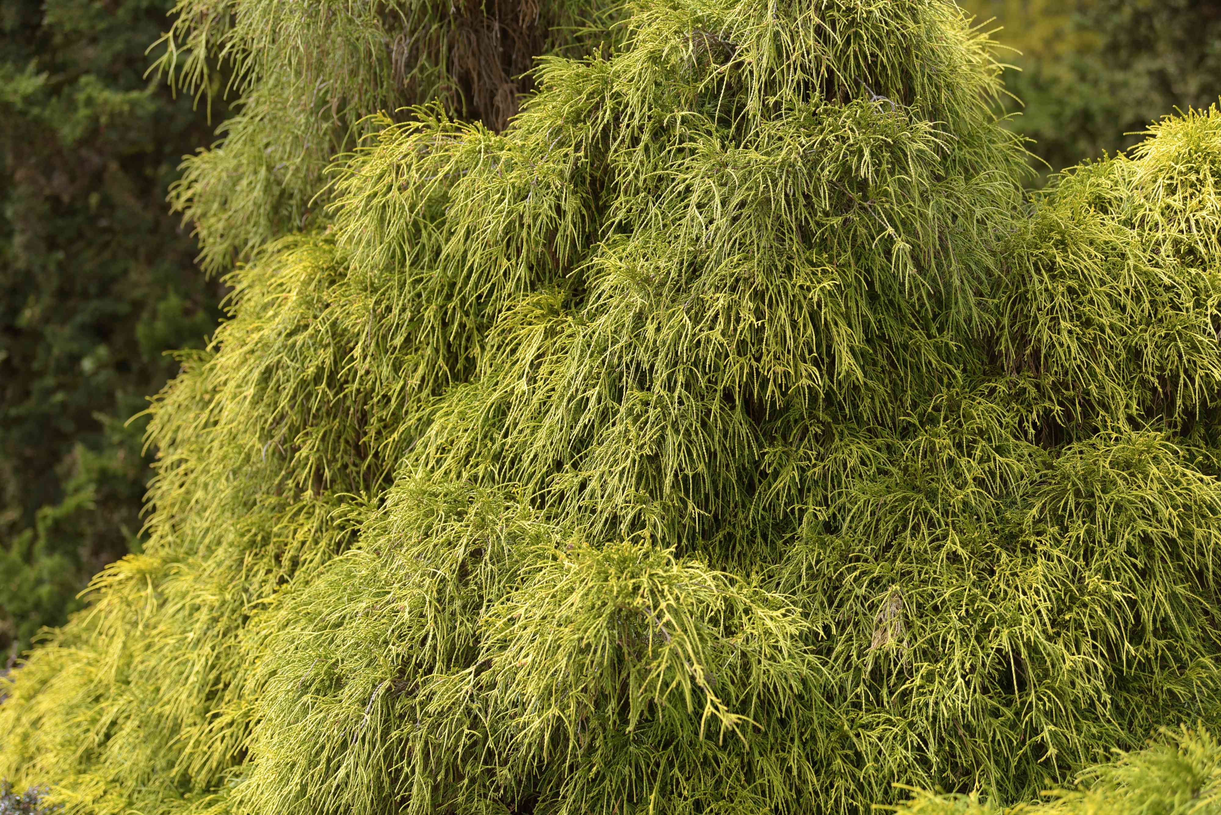 Threadleaf false cypress shrub with yellow-green and stringy branches
