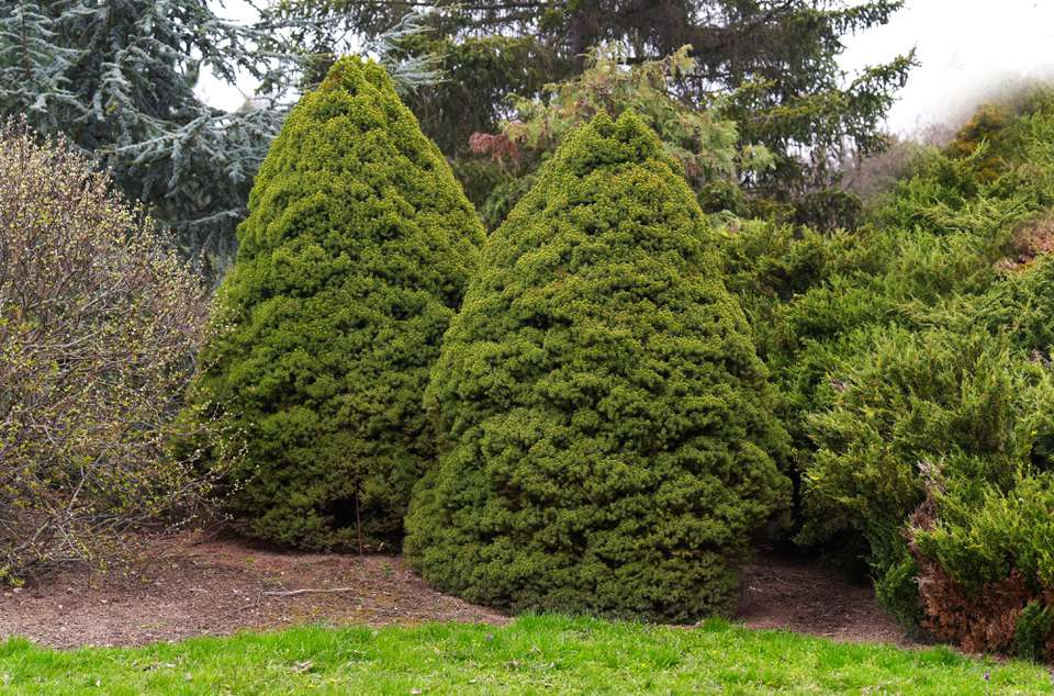Dwarf Alberta trees shaped as cones in middle of garden