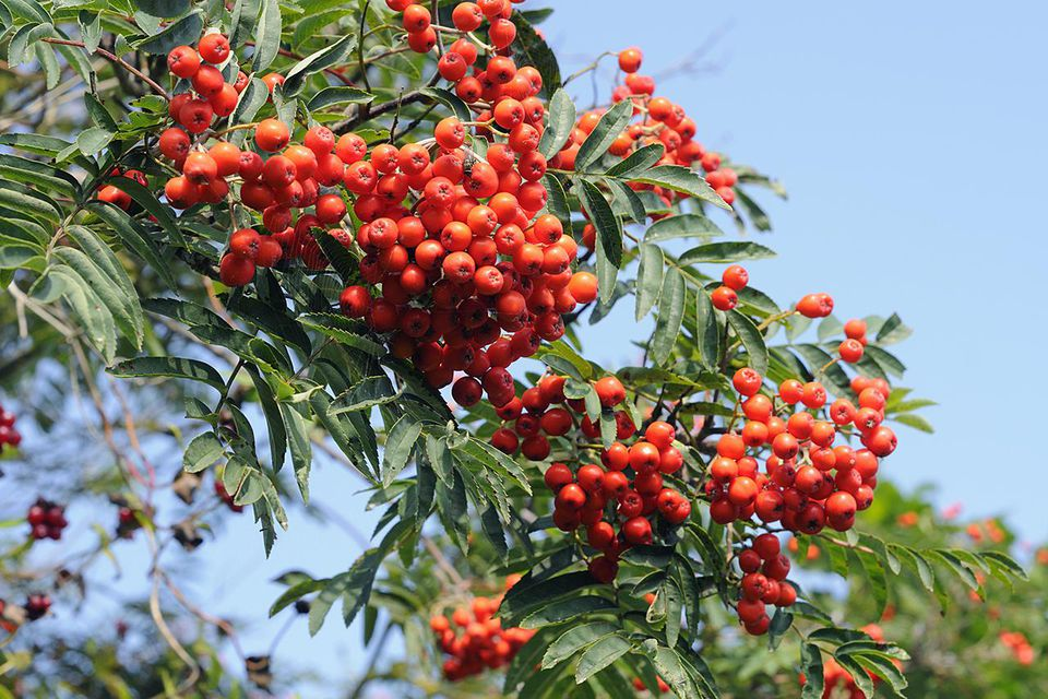 Red berries of Rowan tree (Sorbus aucuparia), August