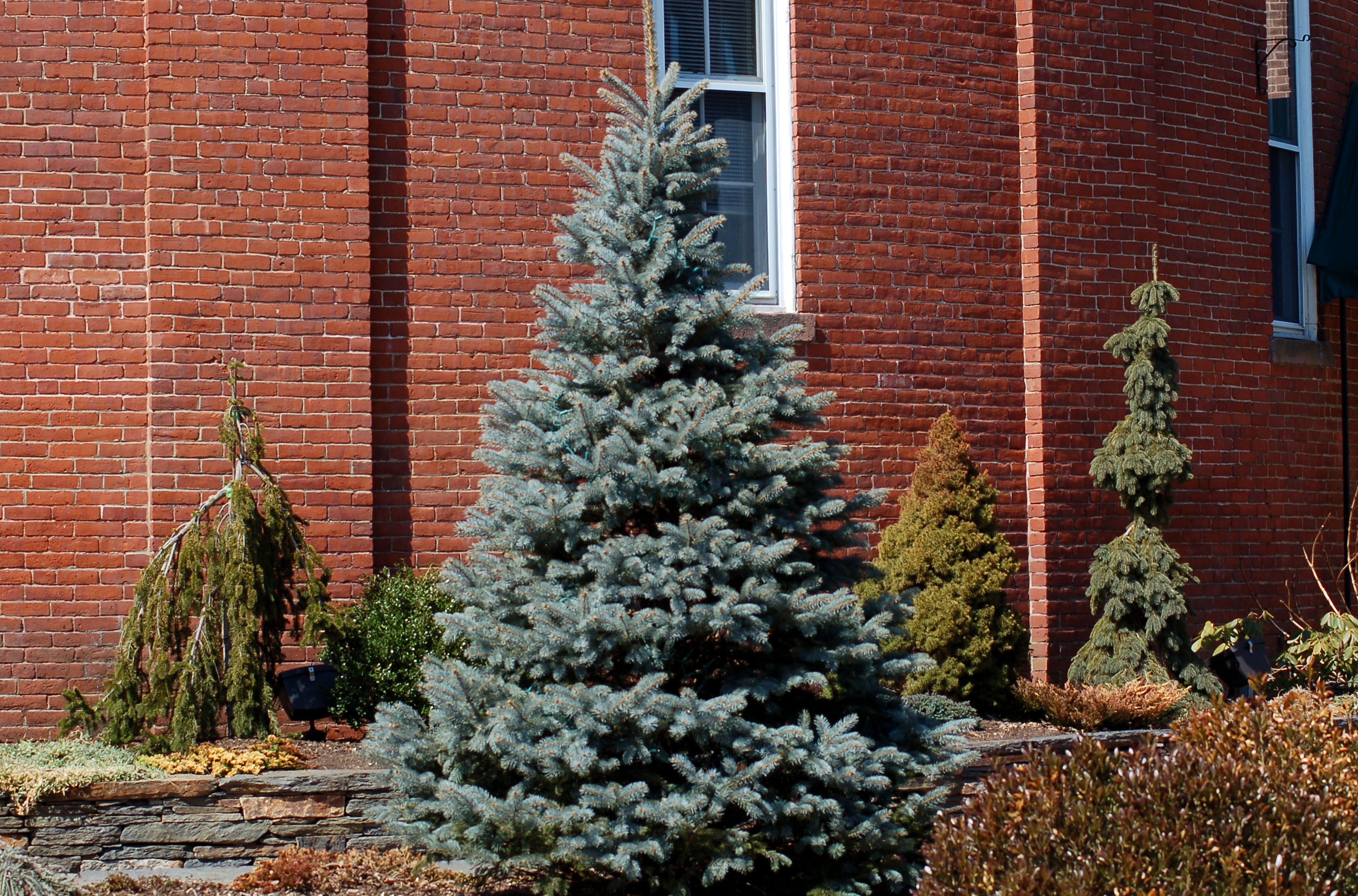 Picea azul de Colorado