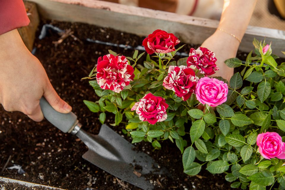 Red and white splattered and pink roses being prepared in garden with hand-held shovel