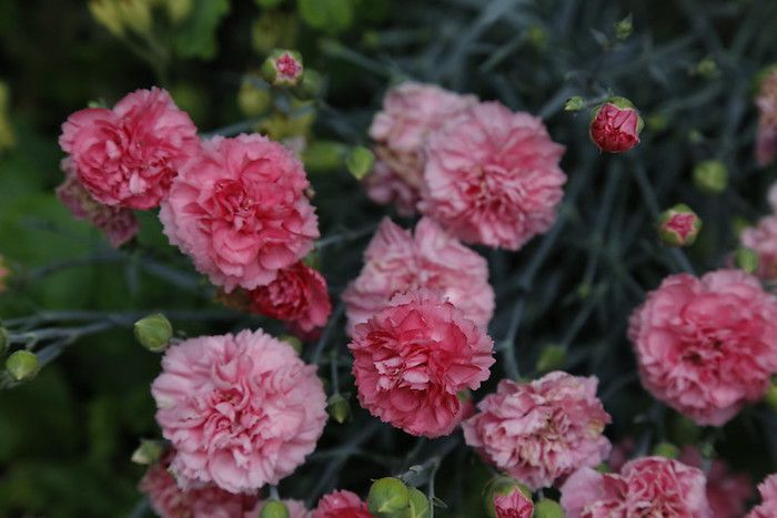 Pink double flowered carnations with greenery