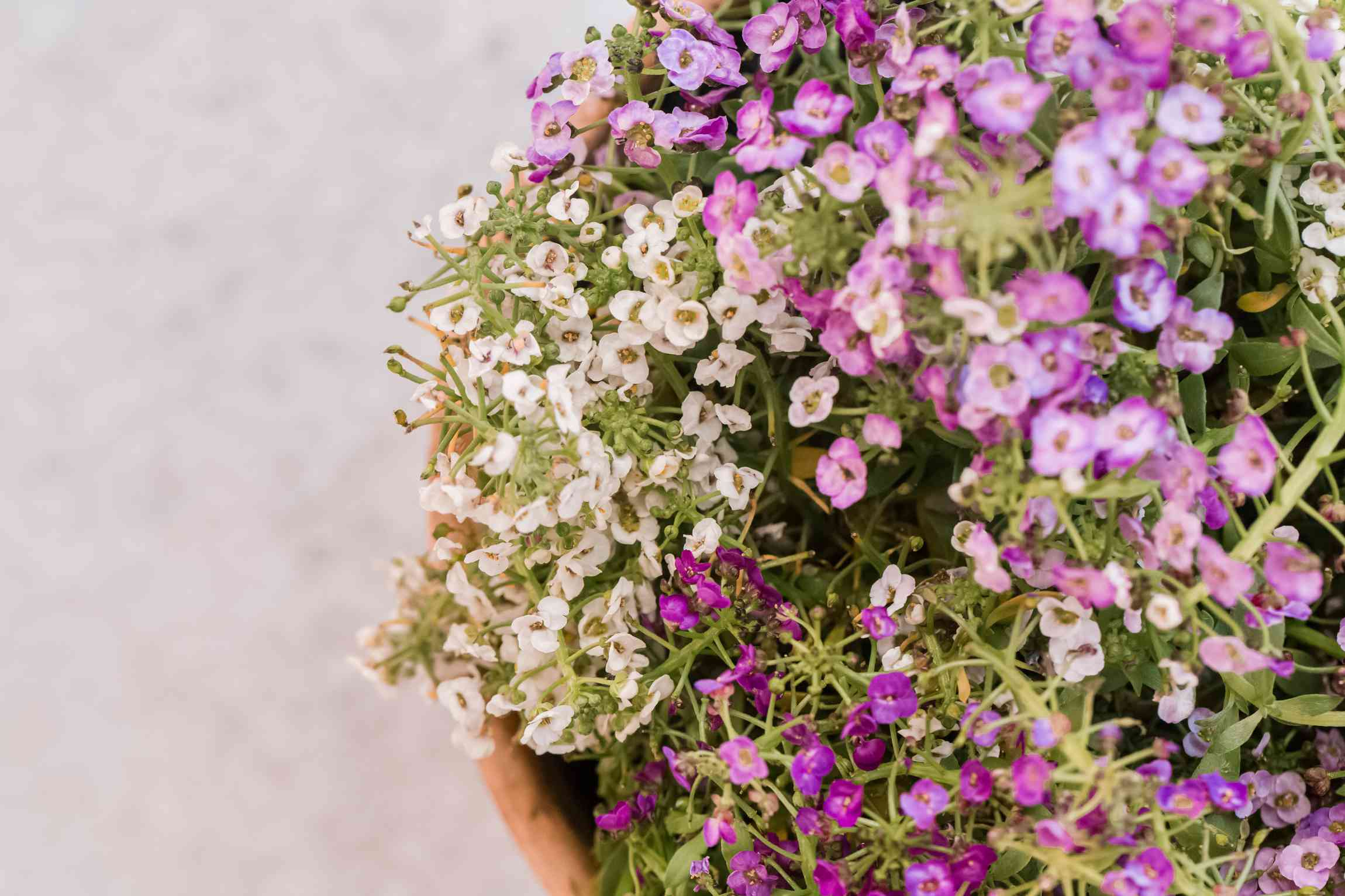 sweet alyssum in a container