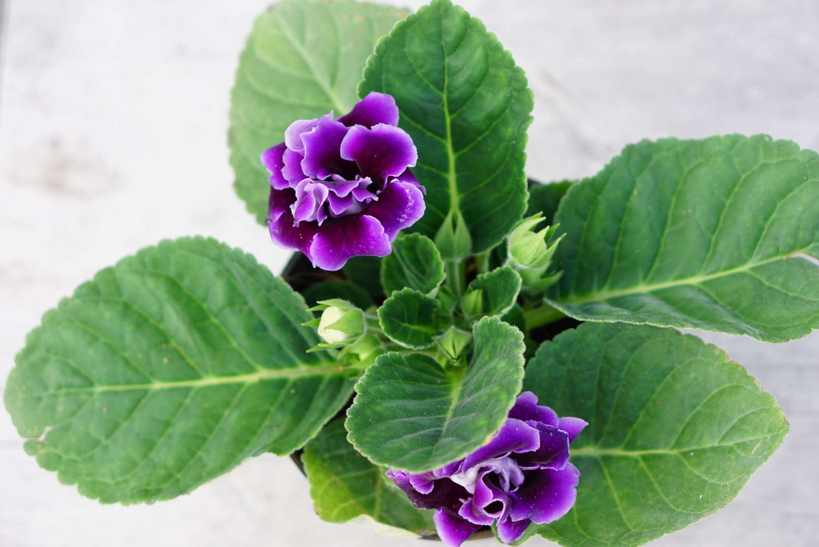 Gloxinia senningia hybrid plant with purple flowers and buds from above
