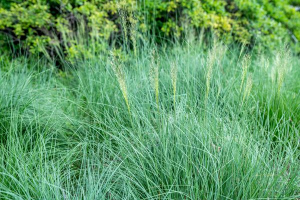 Praire dropseed grass with thin green blades growing in dense tufts in front of trees
