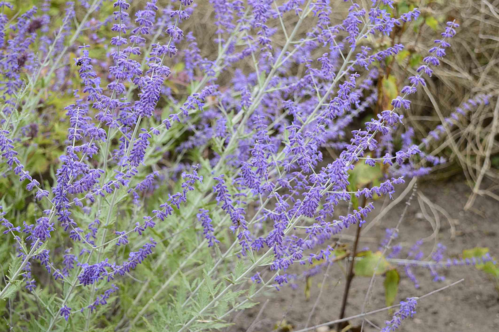 Perovskia atriplicifolia con flores azules