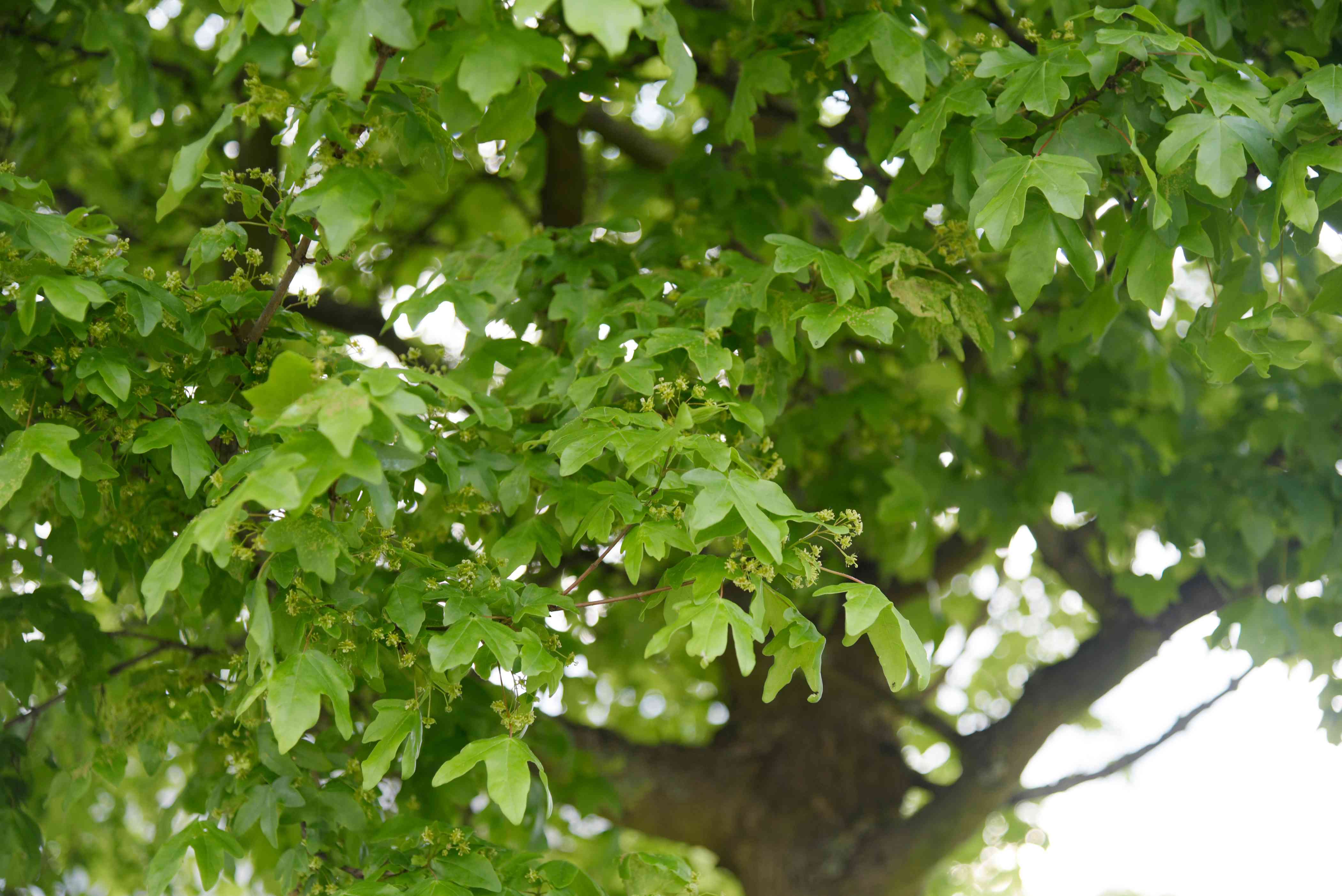 Hedge maple tree branches with small green flowers