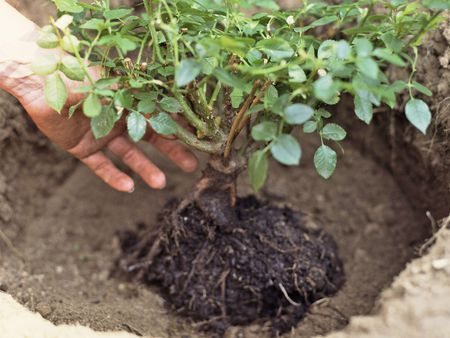 A Small Rose Bush Being Planted By Hands