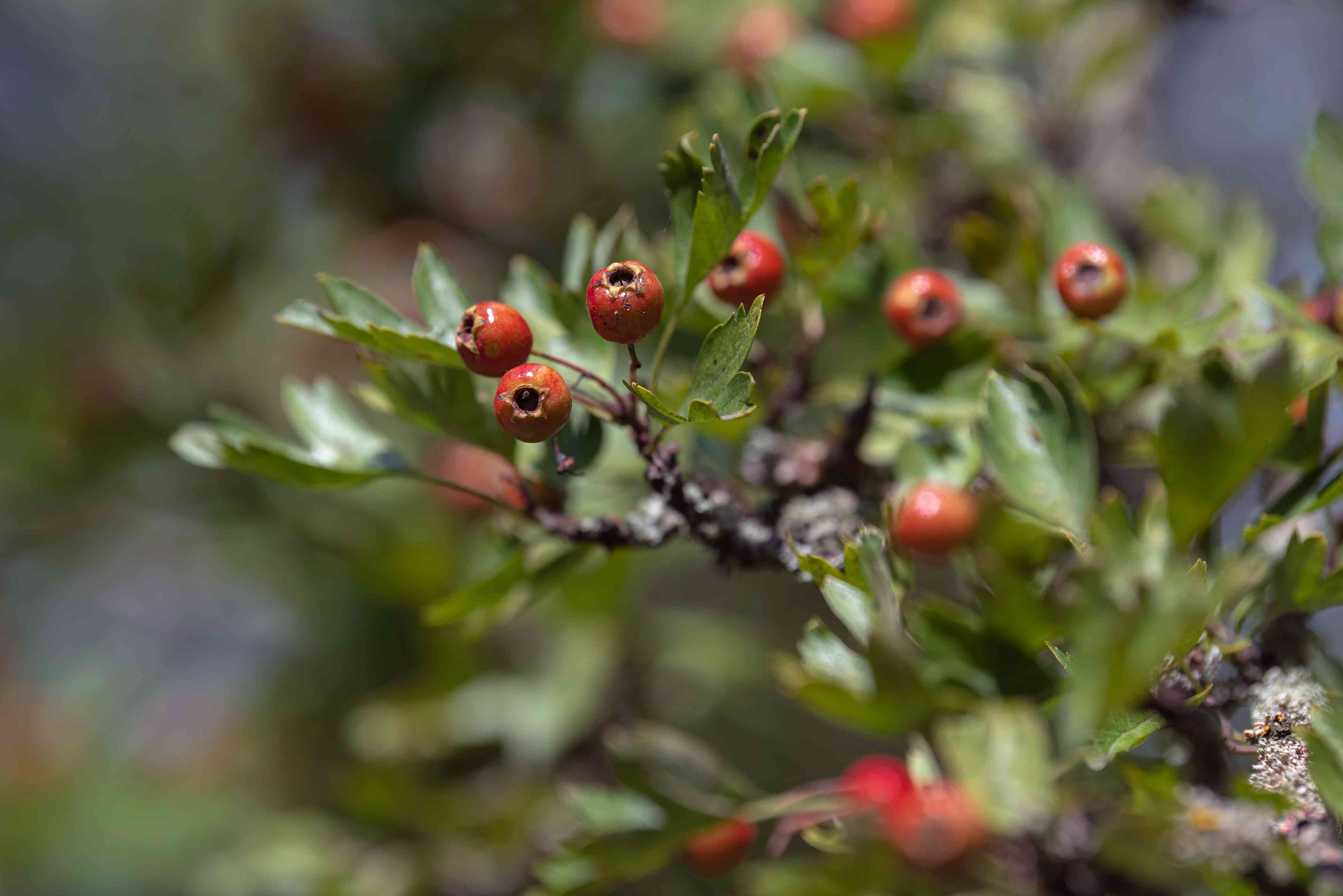 English hawthorn tree branch with small lobed leaves and red fruit closeup