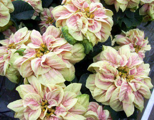 imagen de flor de pascua de fresas y crema