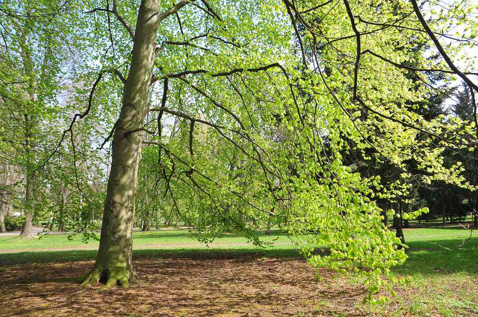 European beech tree with long thin branches and bright green leaves