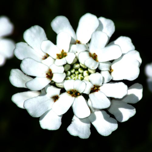 Candytuft picture. A perennial flower, candytuft is a brilliant white color.