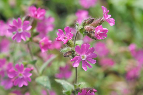 Red campion flower with small pink star-shaped flowers and buds closeup