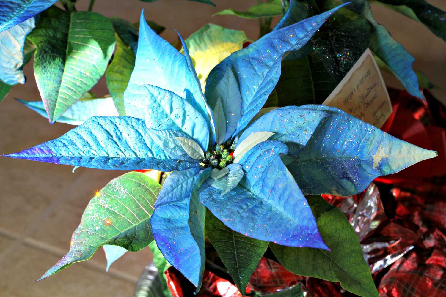 Poinsettia Fun Facts Tips And Myths