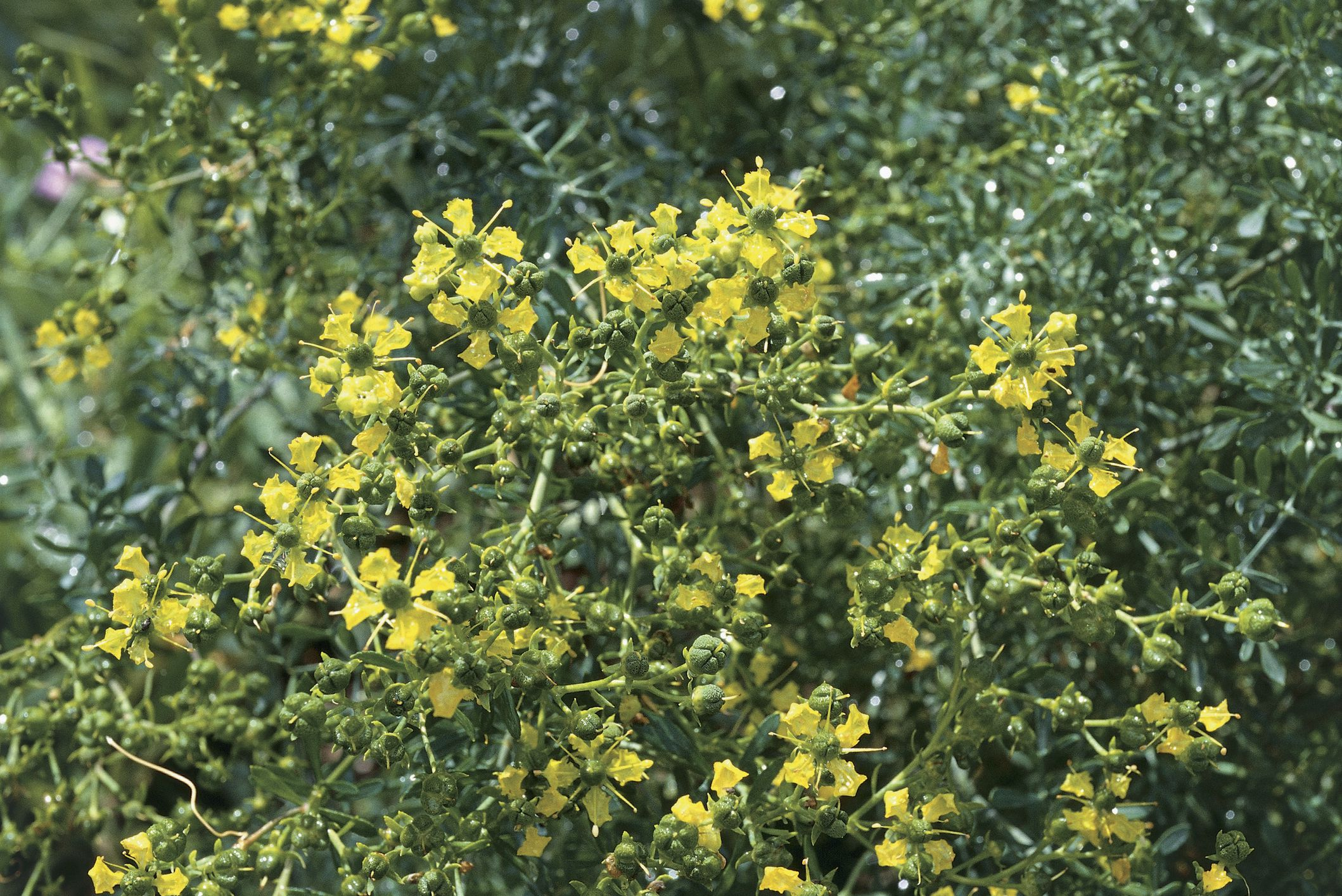 How To Grow And Care For Rue Flowers