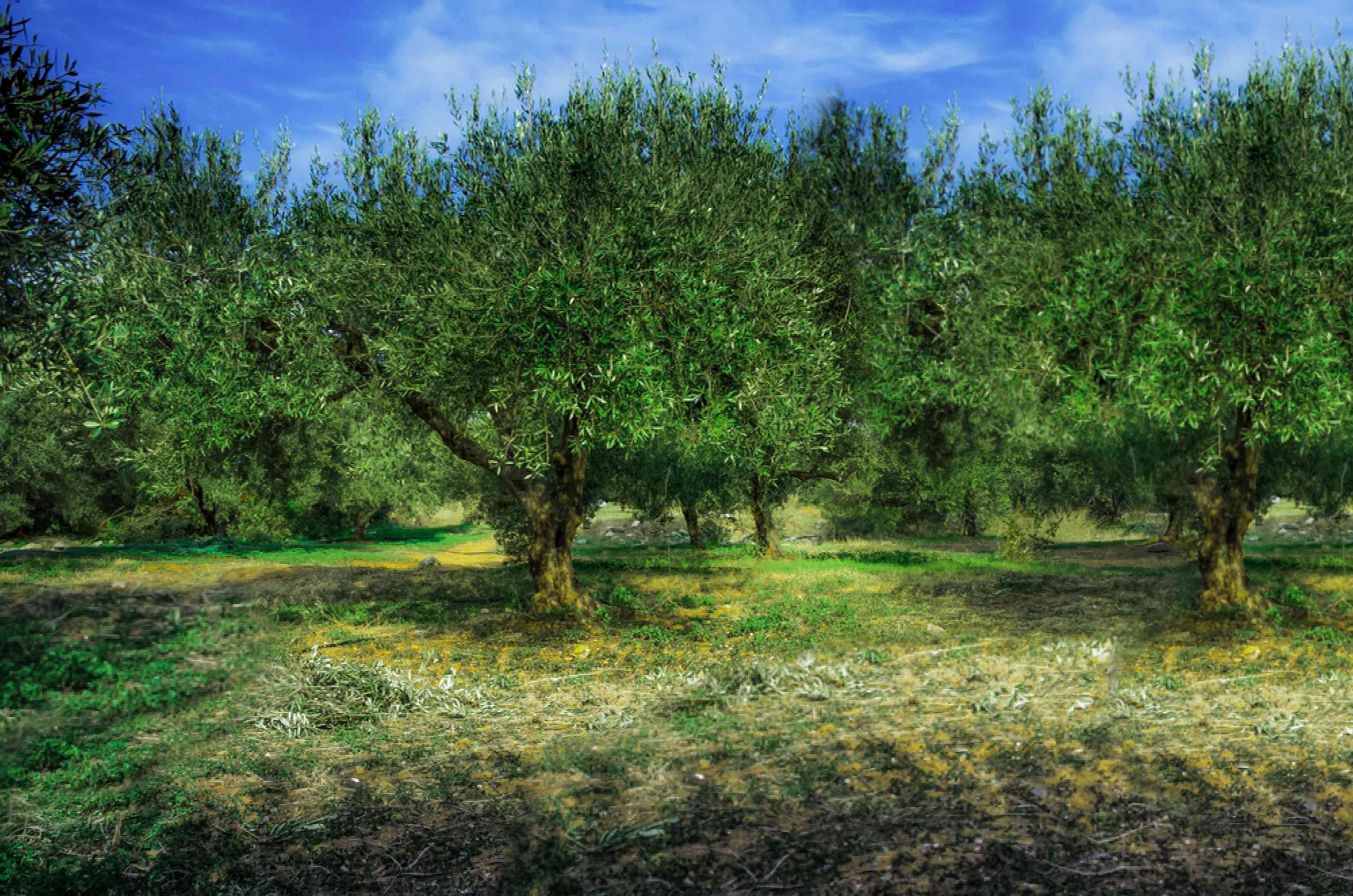 Field of olive trees with bright green leaves against blue sky and dry grass