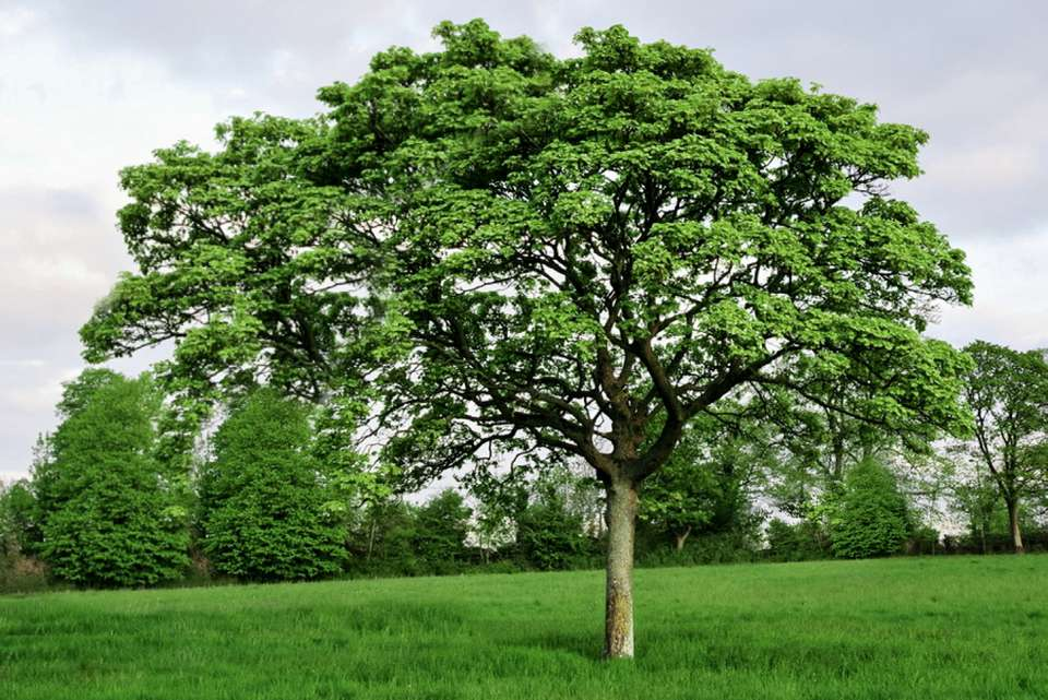 English oak tree in middle of field with wide reaching branches on top