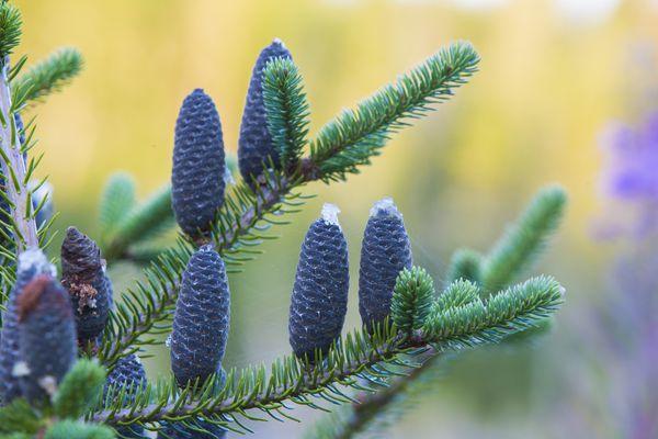 Balsam fir tree (Abies balsamea) cones
