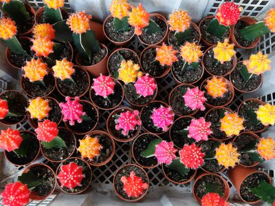 How to Grow and Care for Indoor Cactus Plants