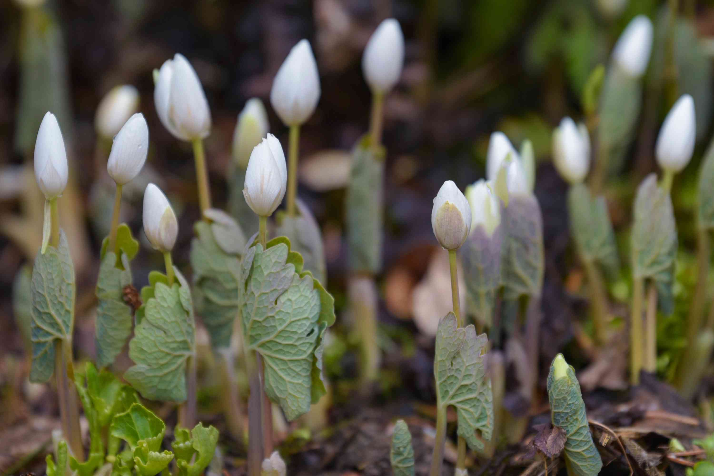 Bloodroot white flower buds with lobed and veiny leaves on thin stems