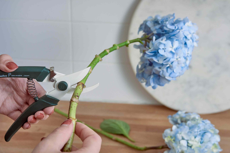 Preparing hydrangea flowers to be dried