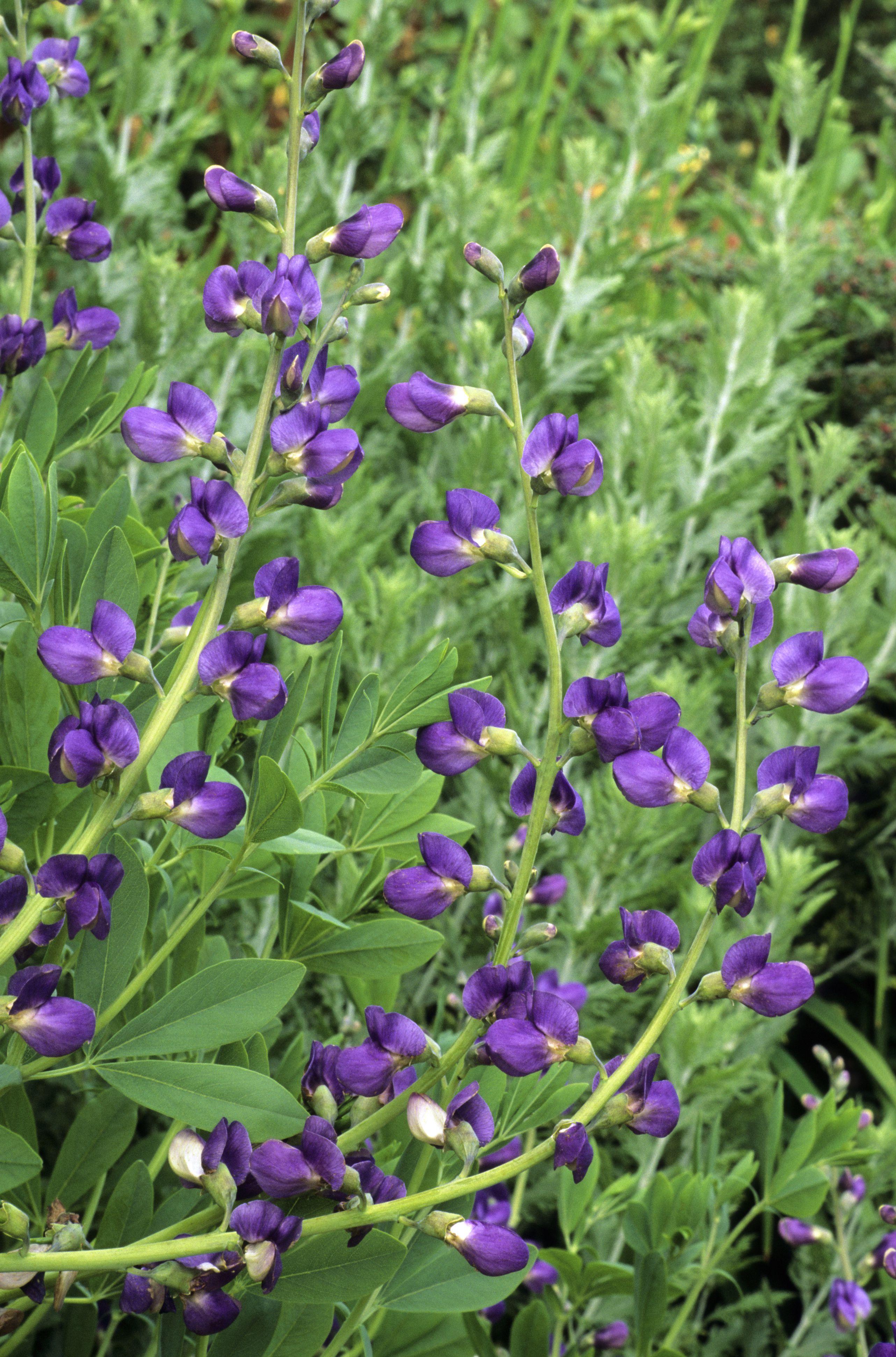 Perennial Plants That Dont Need Deadheading