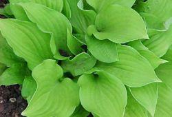 'Ground Sulphur' hosta with bright green leaves
