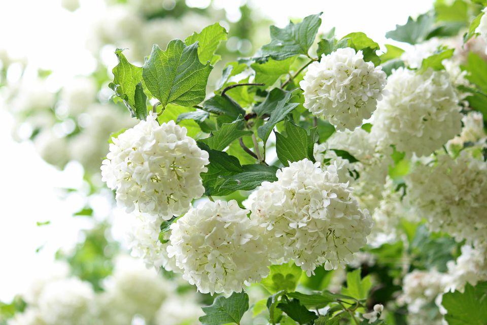 Japanese Snowball (Viburnum plicatum) blooming profusely