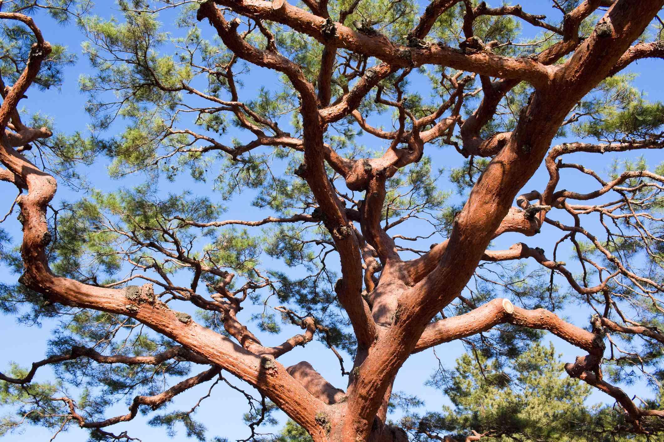 Japanese Red Pine Tree