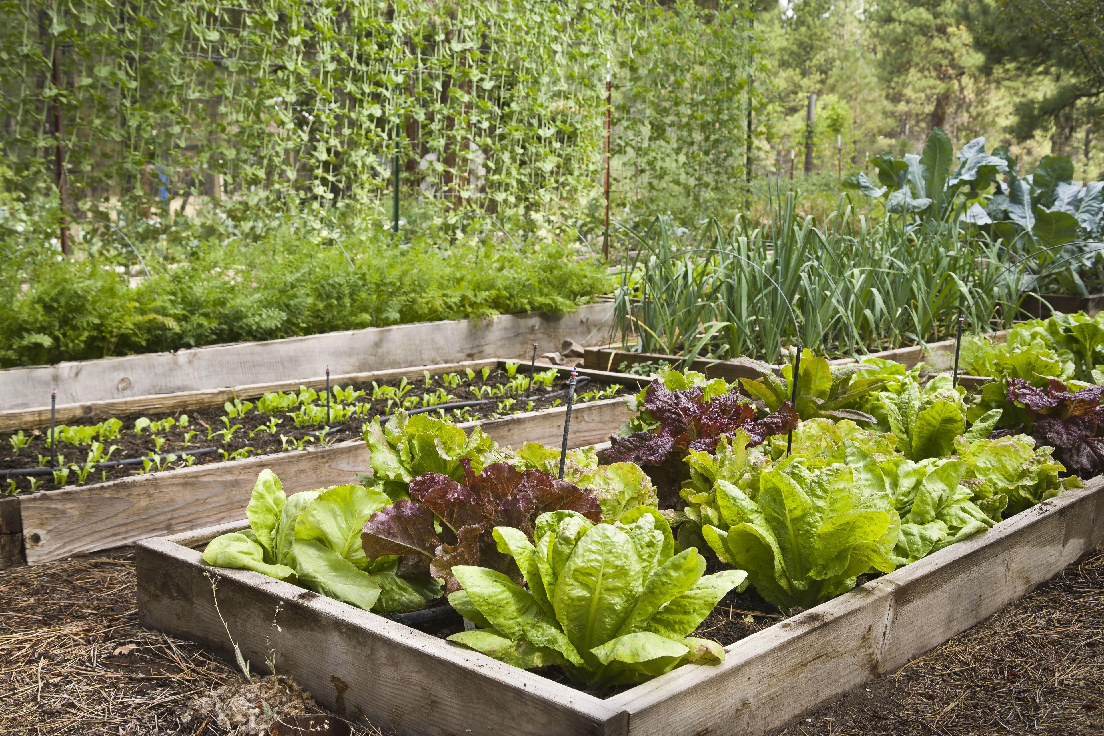 vegetables to grow in a fall garden - Fall Vegetable Garden