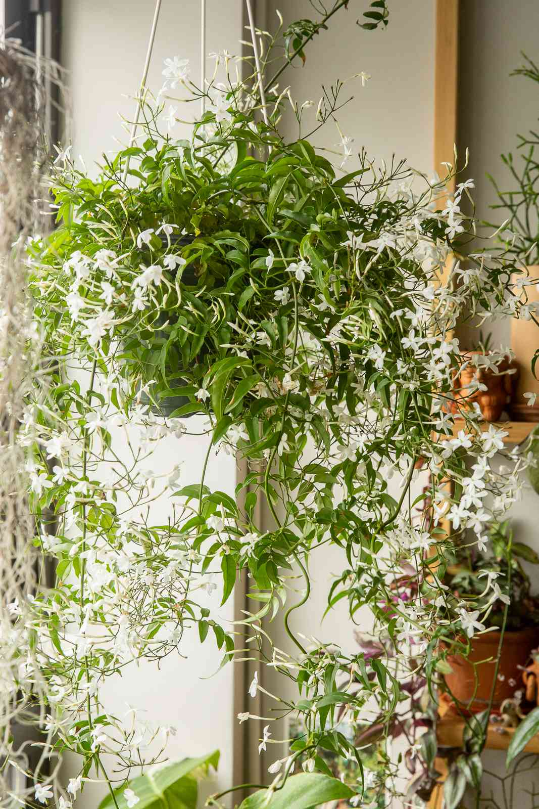 Jasmine plant with hanging vines
