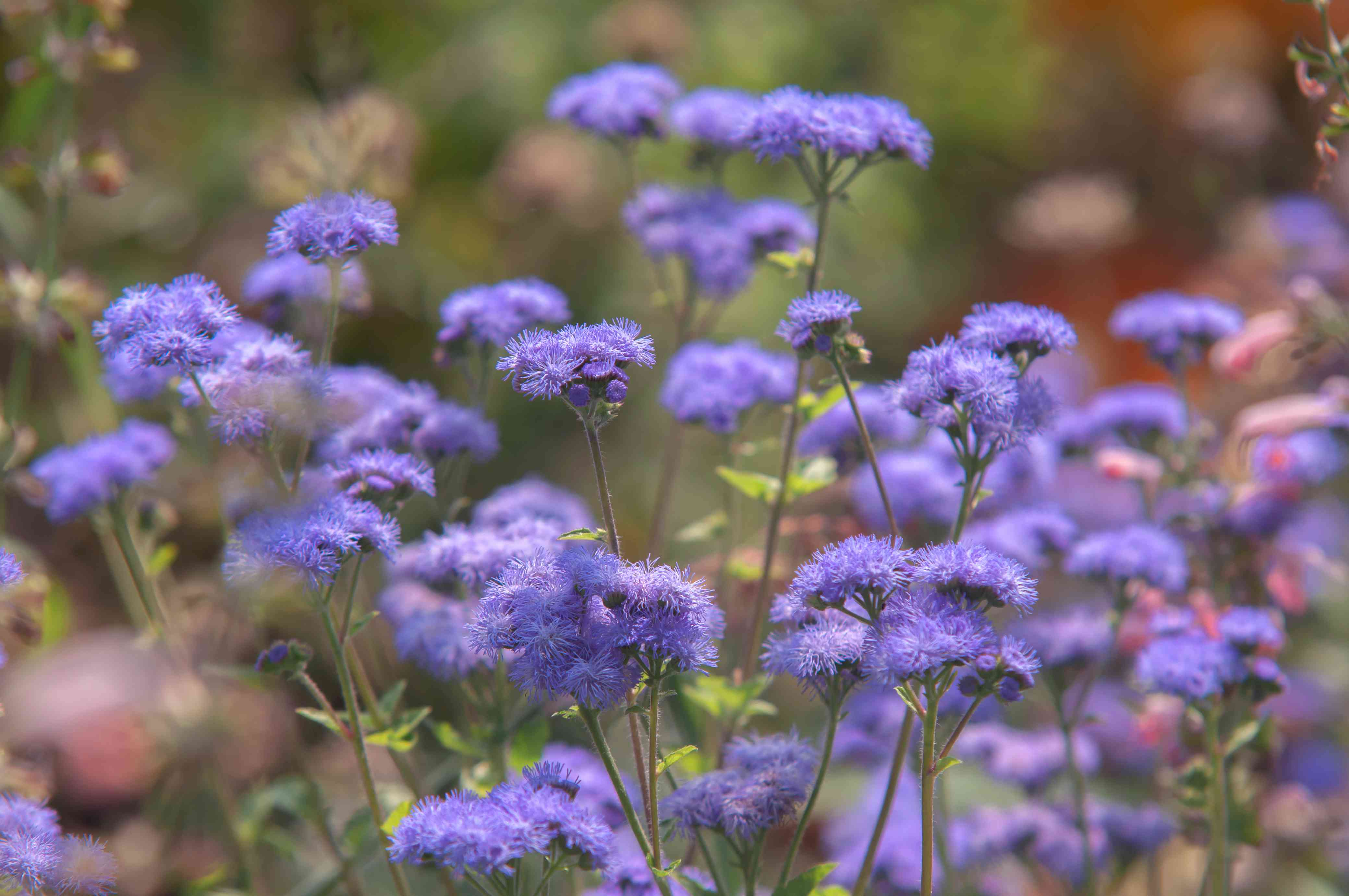 Ageratum plant with purple flowers in garden