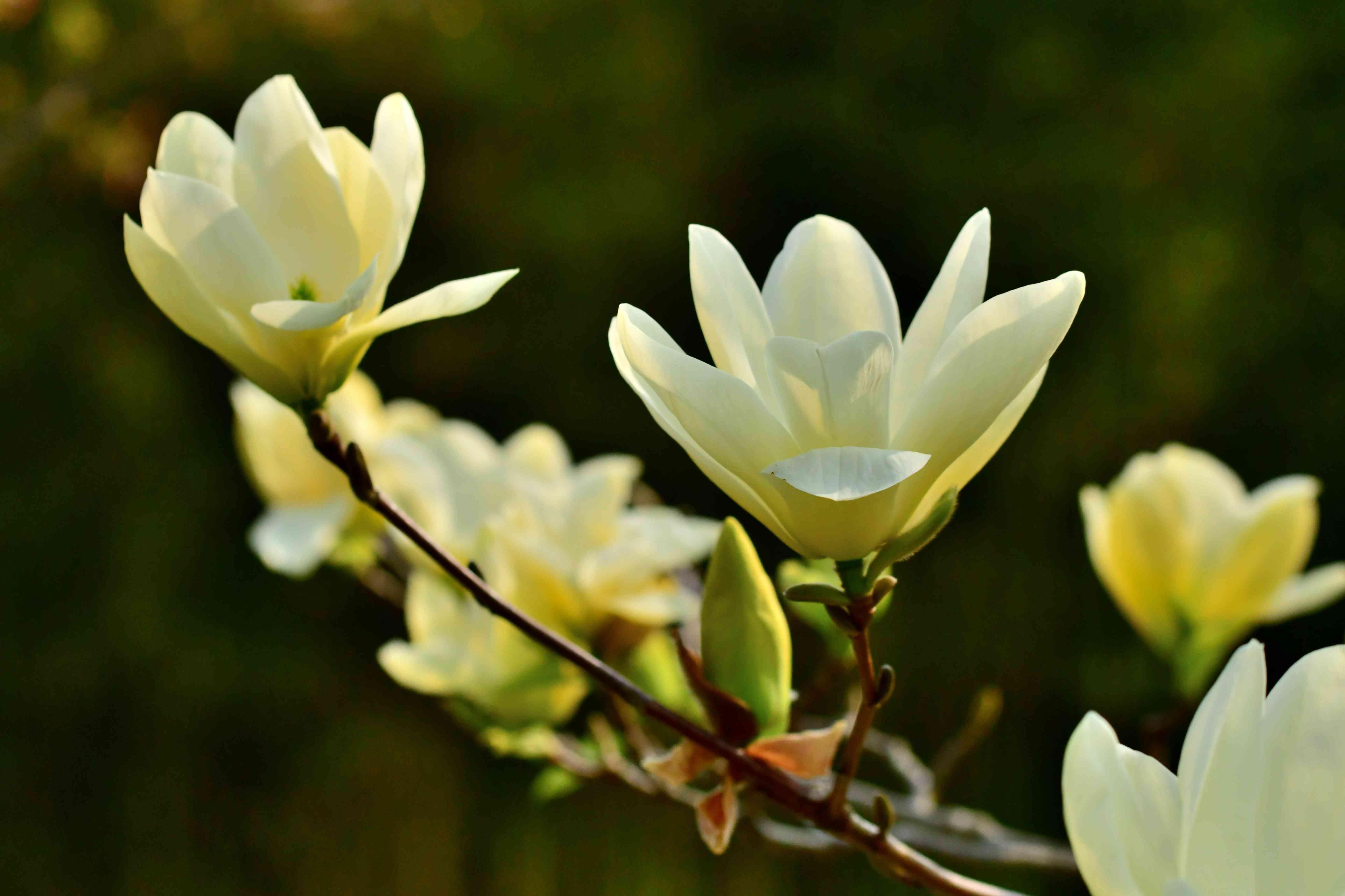 Magnolia acuminata / Cucumber Magnolia