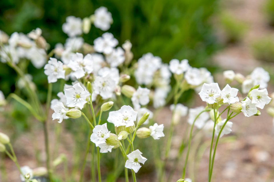 Silene plant with small white flowers and buds on thin stems closeup