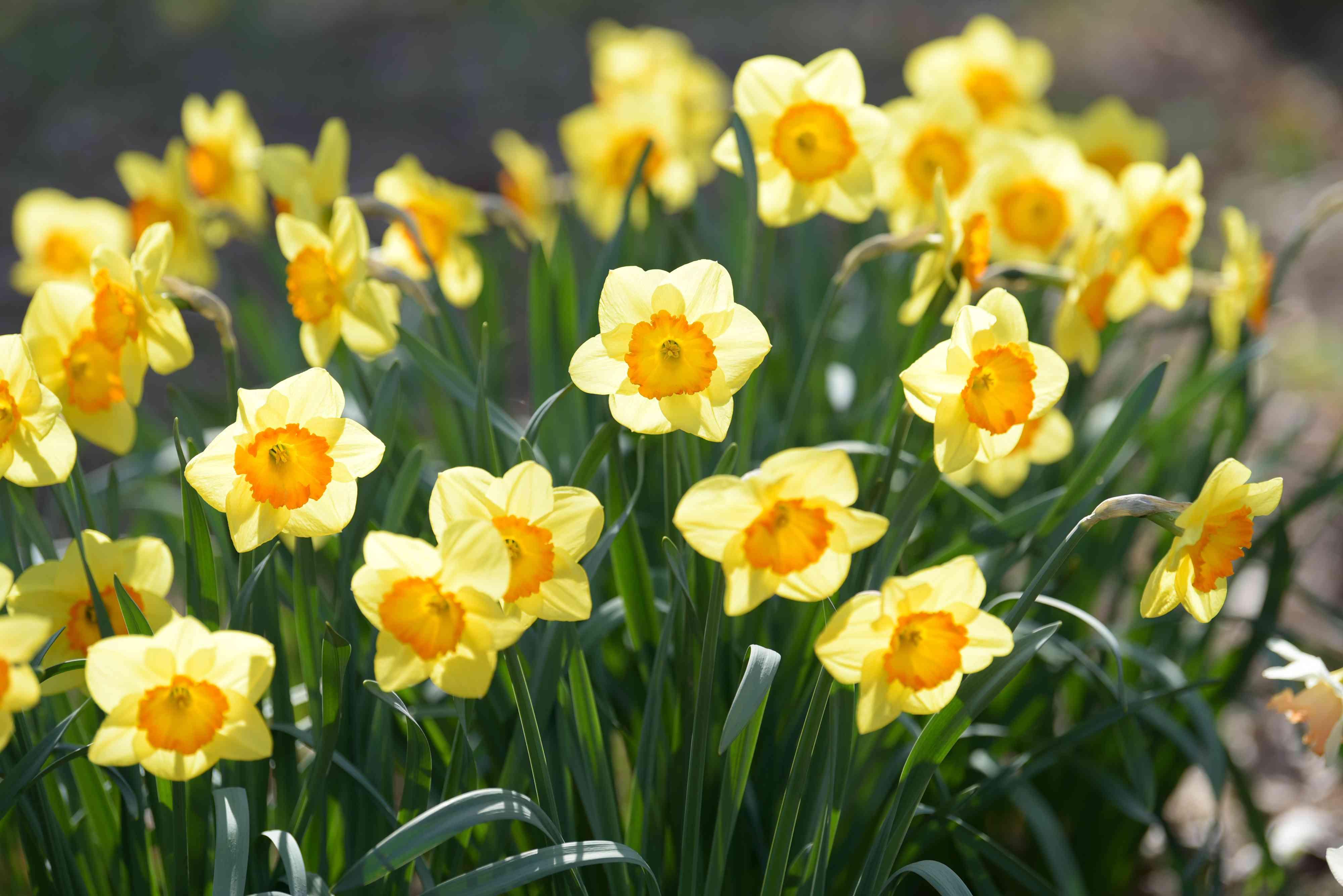 Light yellow and orange daffodil flowers