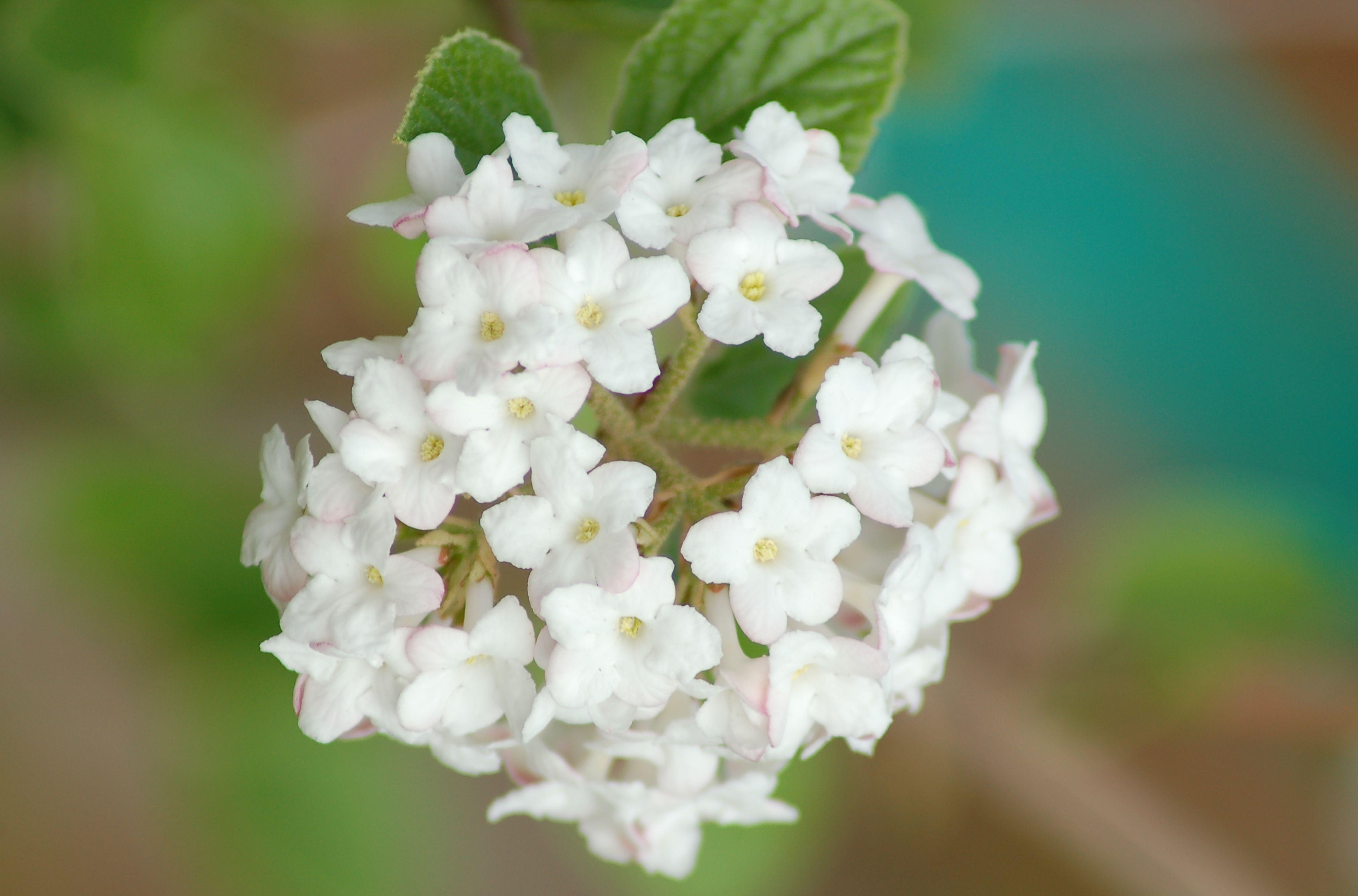 Korean Spice Viburnum Shrub The Fragrant Spicebush