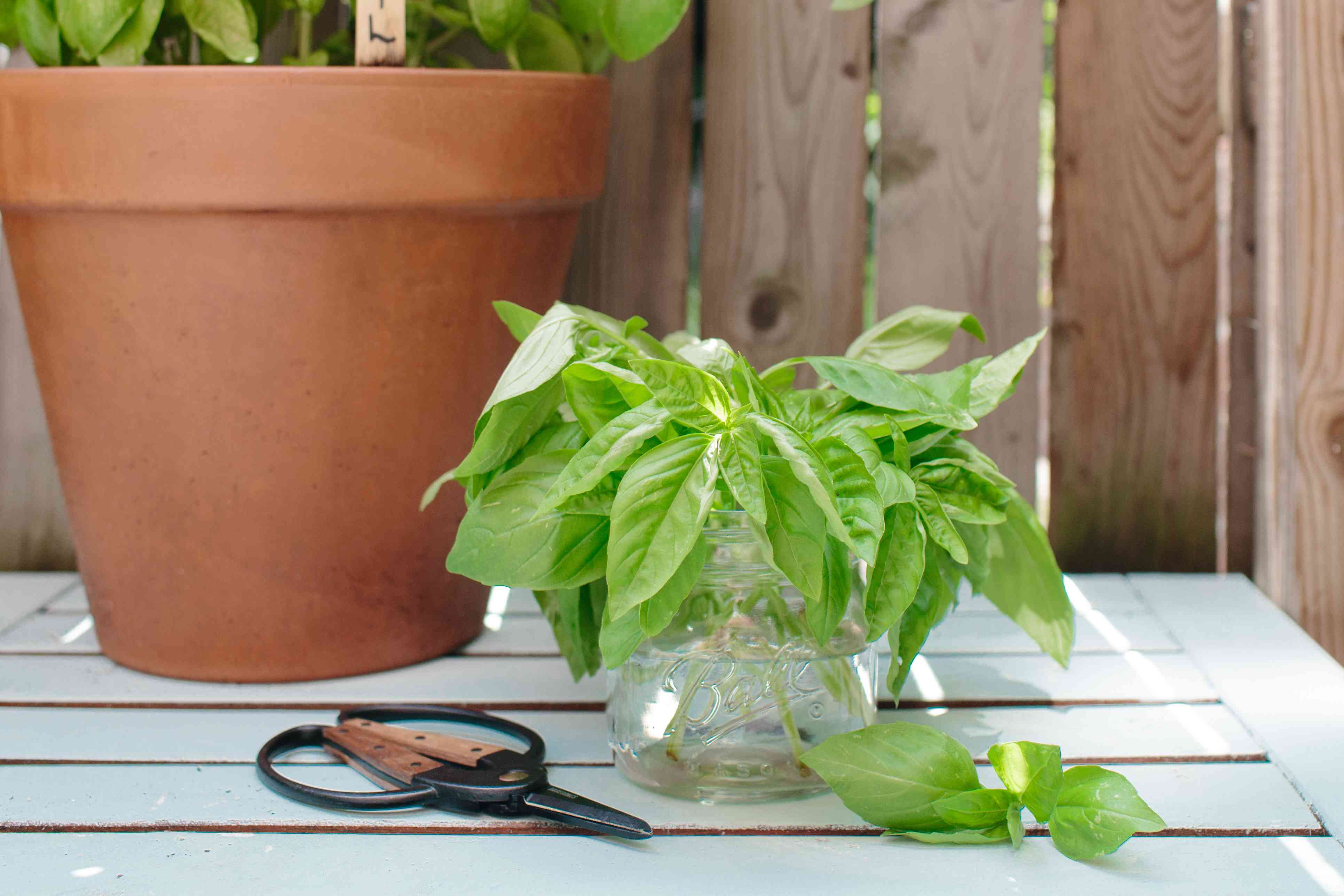 harvested basil next to a potted basil plant