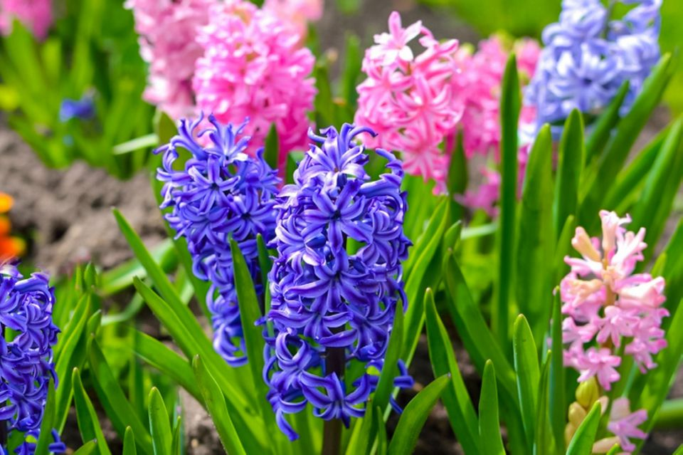 pink and purple hyacinth