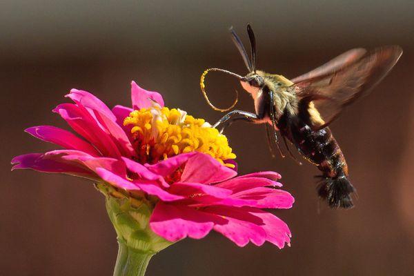 Hummingbird moth on a pink flower