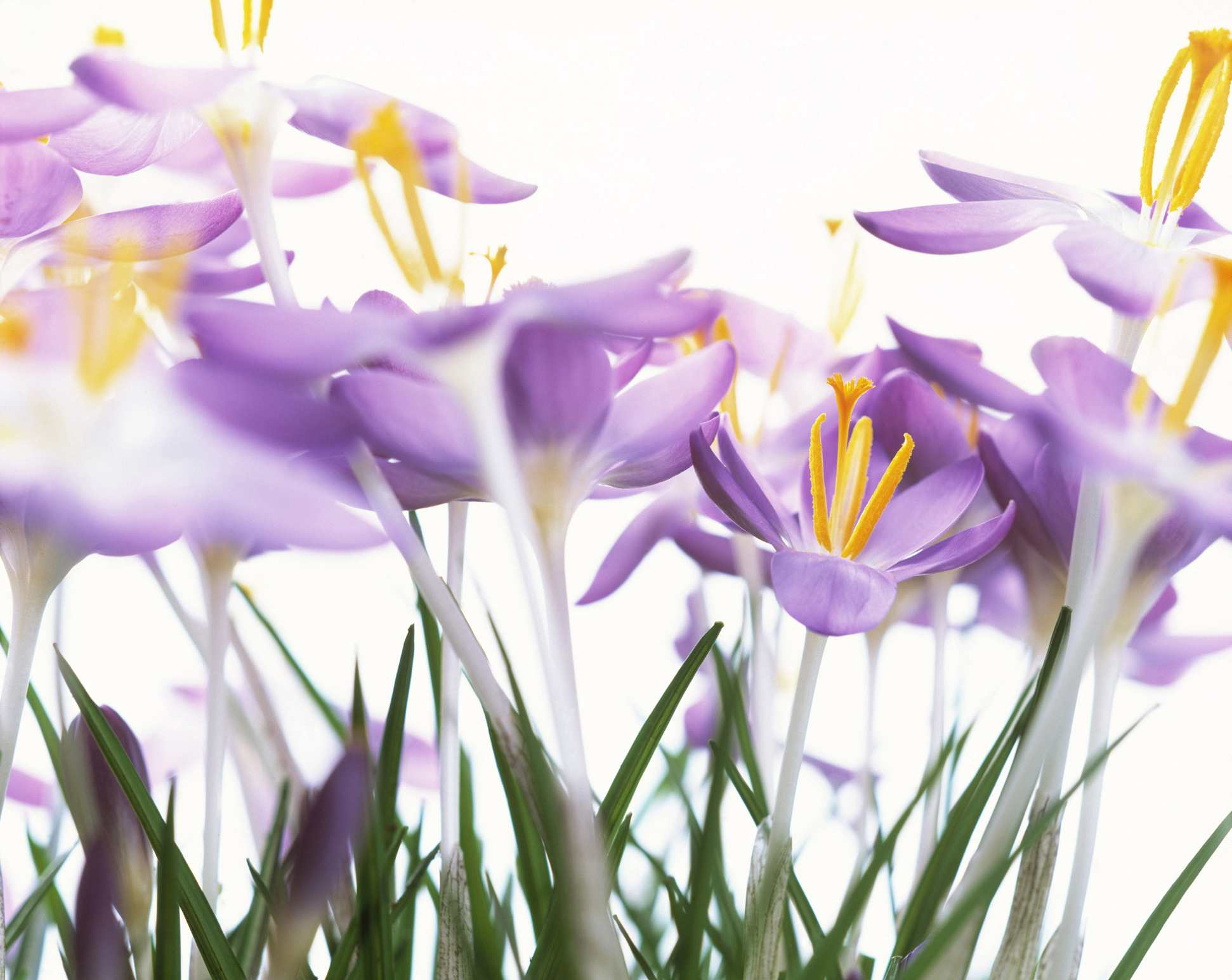 'Skyline' crocus with purple petals