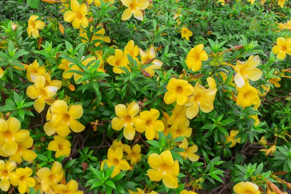 Allamanda trumpet bush with buttery yellow flowers surrounded by glossy leaves