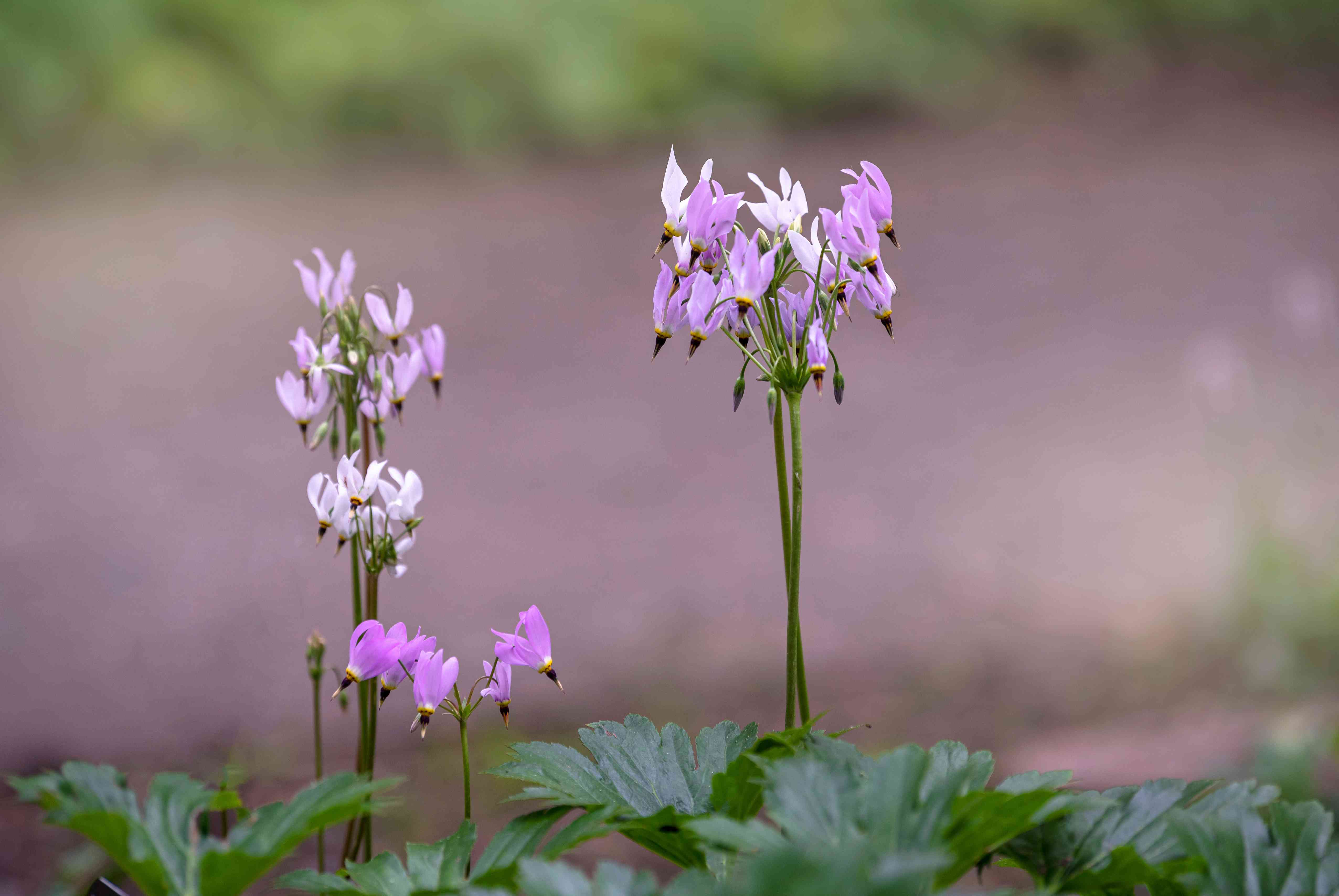 Shooting star plant with white and light pink flowers clustered on top of stems