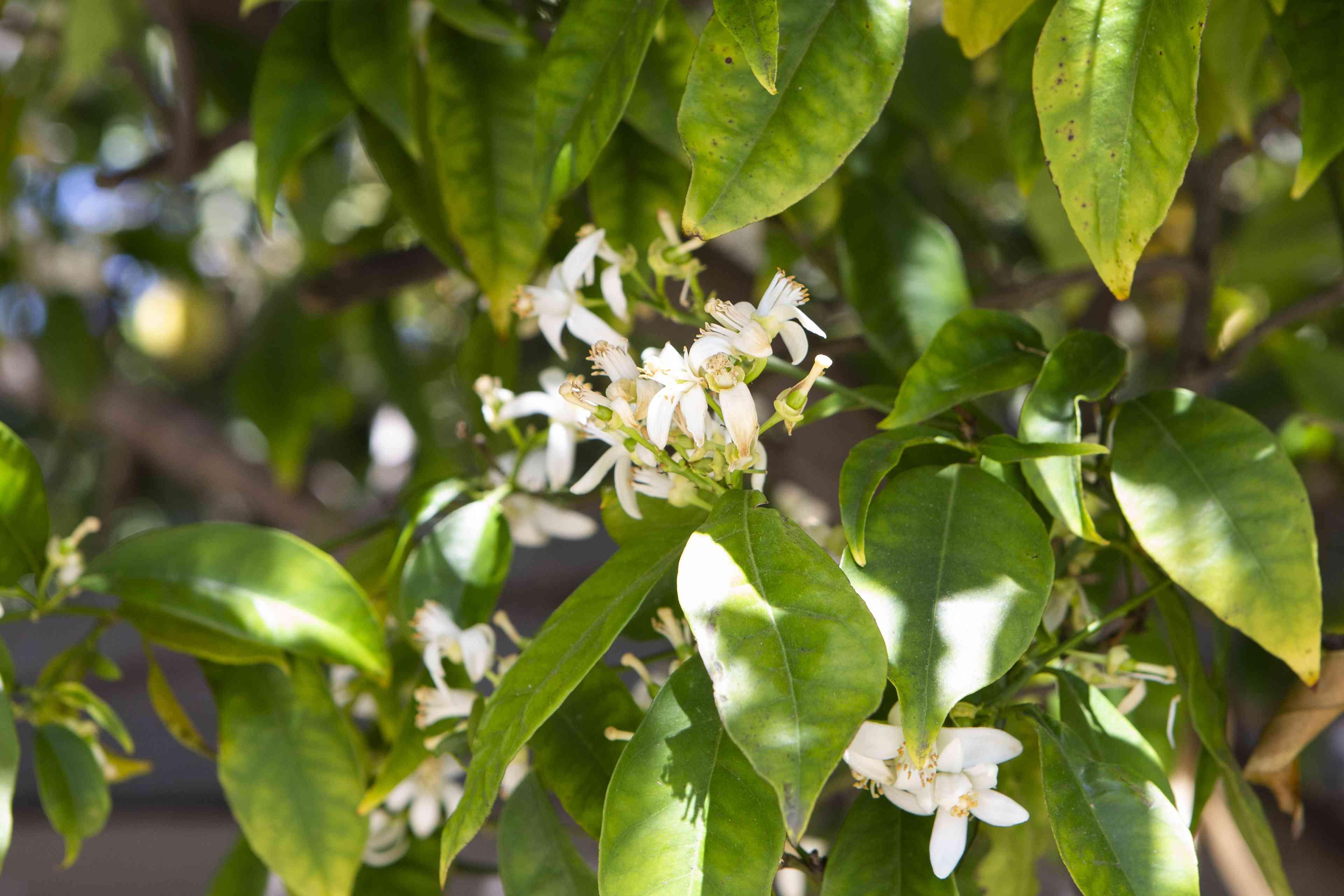 Lisbon lemon tree leaves and small white flowers closeup